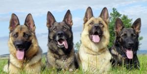 Gardiennage de chiens - Hervé SARRY - Combre